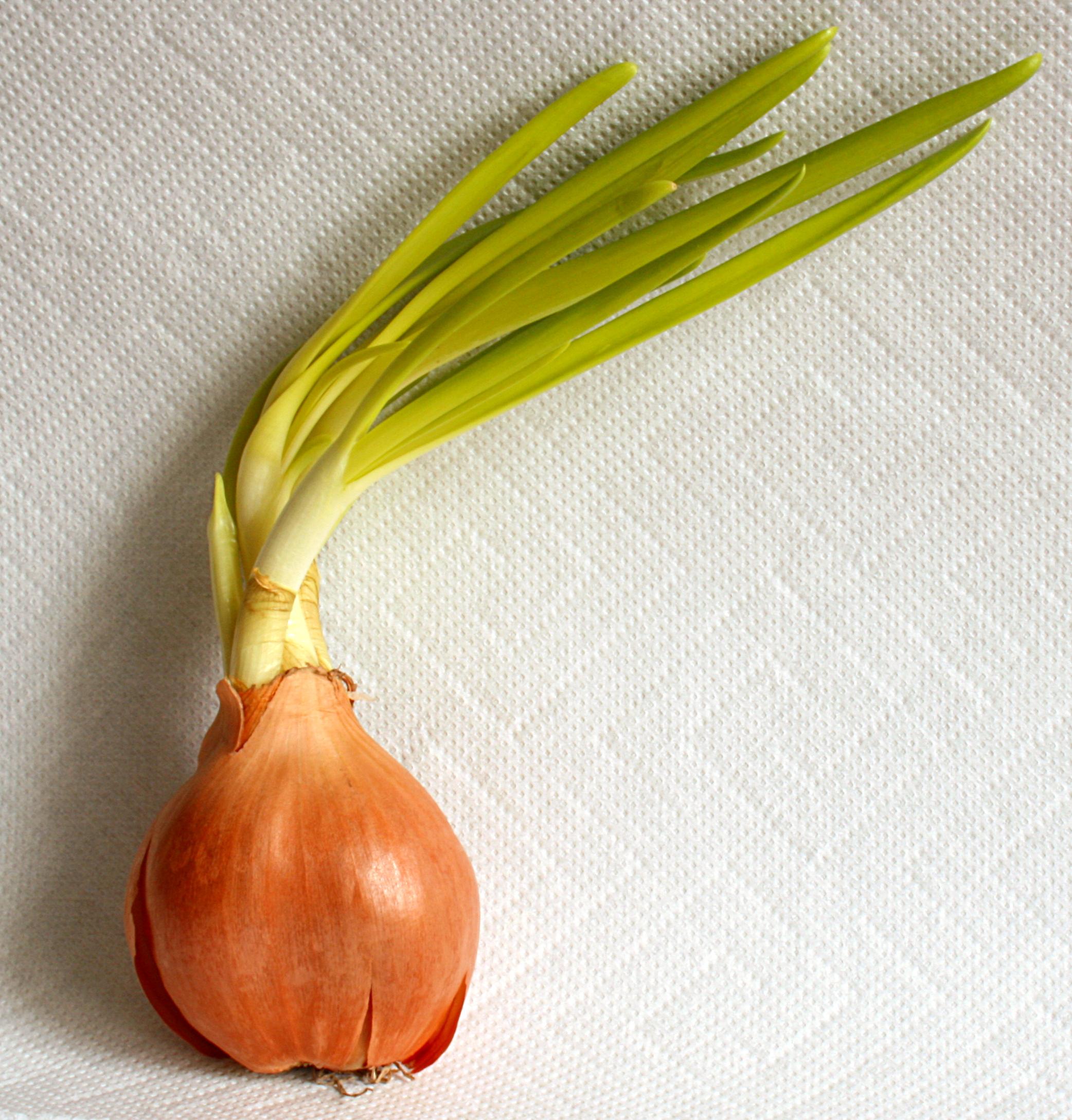 Treibende Kartoffeln, Zwiebeln genughaben