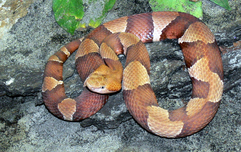 copperhead term english Copperhead may refer to: contents [hide] 1 snakes 2 politics 3 art, entertainment, and media 31 comics 32 fictional entities 33 films 34 literature 35 music 4 software 5 other uses 6 see also snakes[edit] agkistrodon contortrix, or copperhead, a venomous pit viper species found in parts of north america.