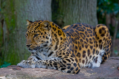 http://upload.wikimedia.org/wikipedia/commons/6/65/Amur_Leopard_%28P.p._amurensis%29.jpg