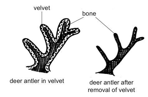 Anatomy and physiology of animals Deer antler.jpg