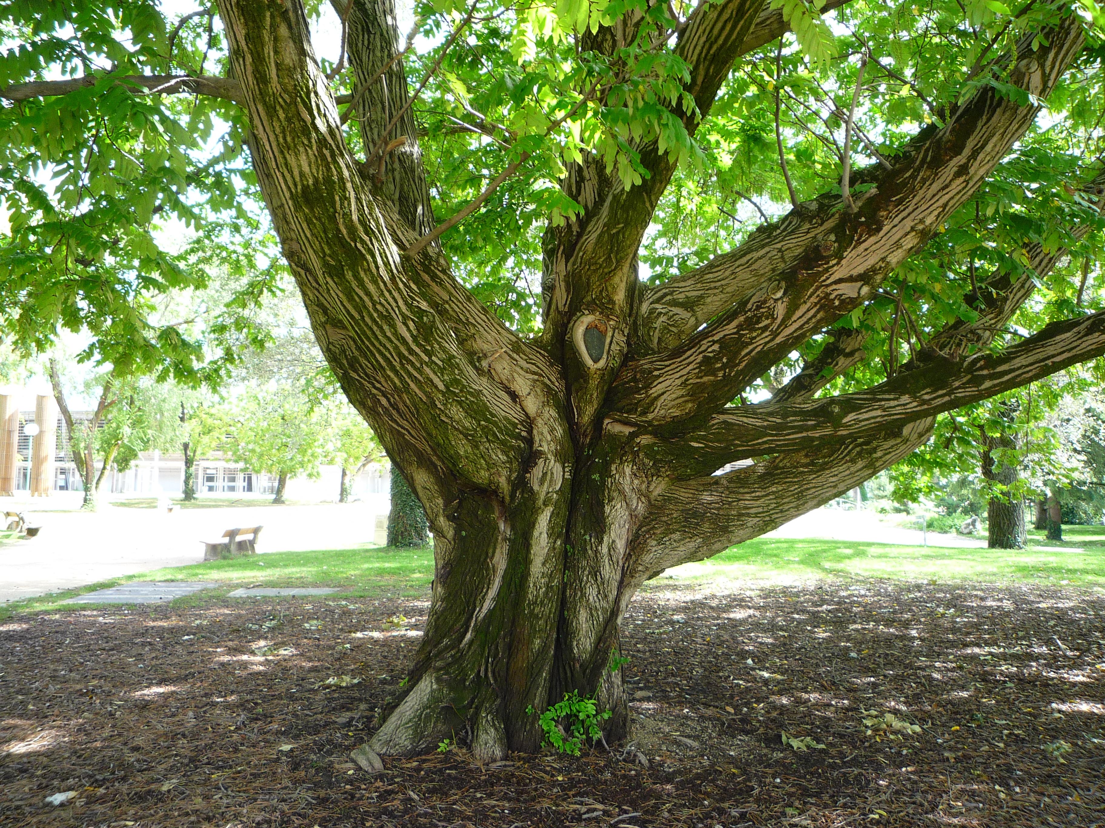 Description arbre remarquable parc p. mistral - grenoble