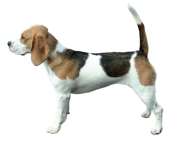Beagle Fond Blanc