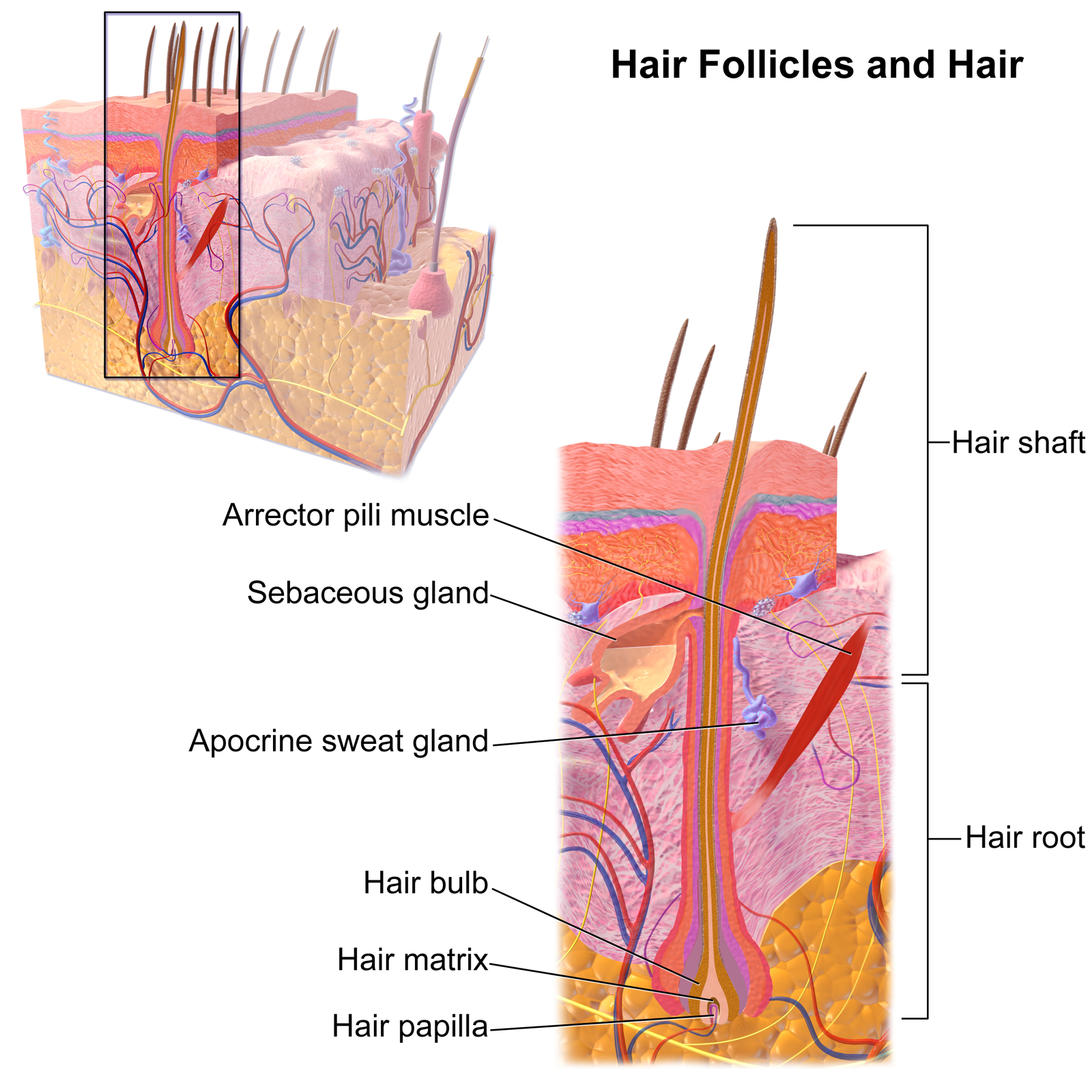File:Blausen 0438 HairFollicleAnatomy 02.png - Wikimedia Commons