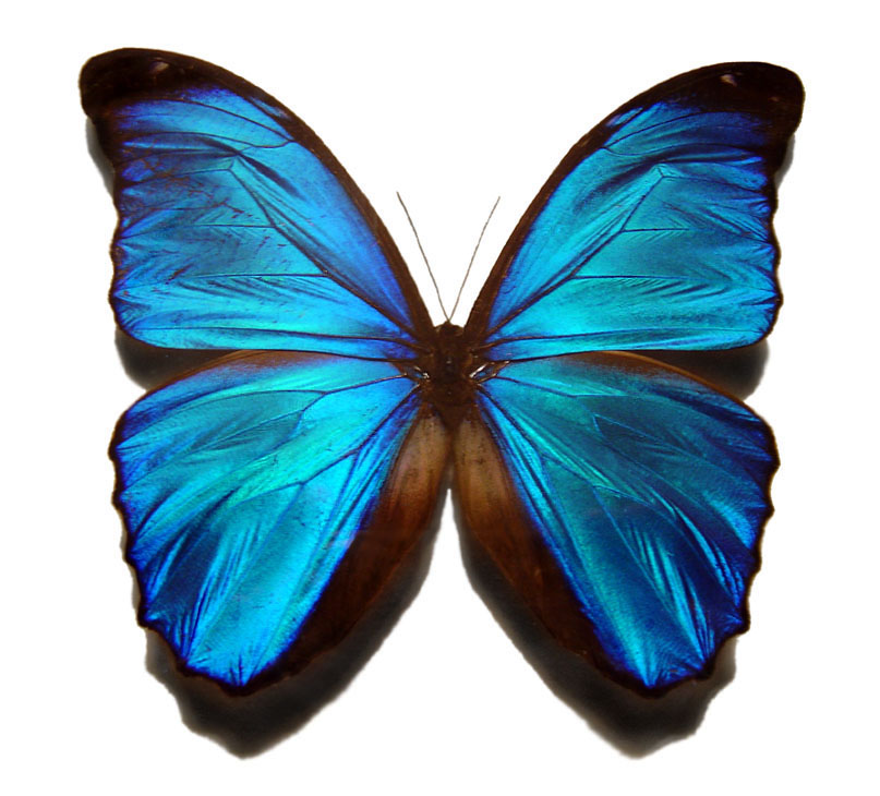 Description Blue Morpho Butterfly