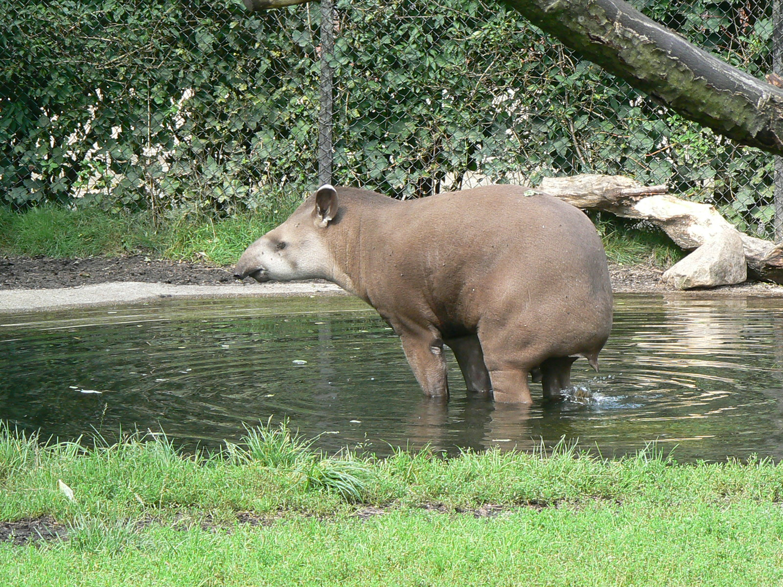Tapir Brazilian Wallpapers File Brazilian tapir zoo