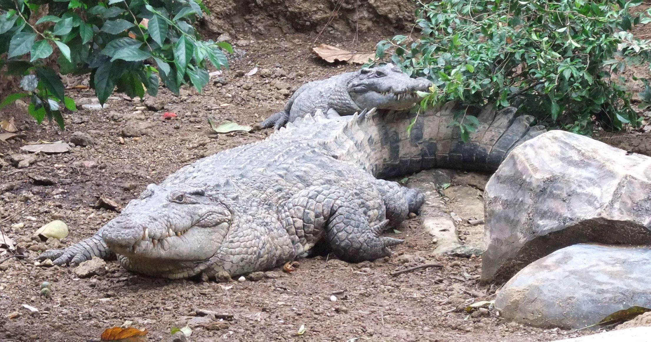 Buaya_Irian_Crocodylus_novaeguineae_Bandung_Zoo.JPG (2966×1834)