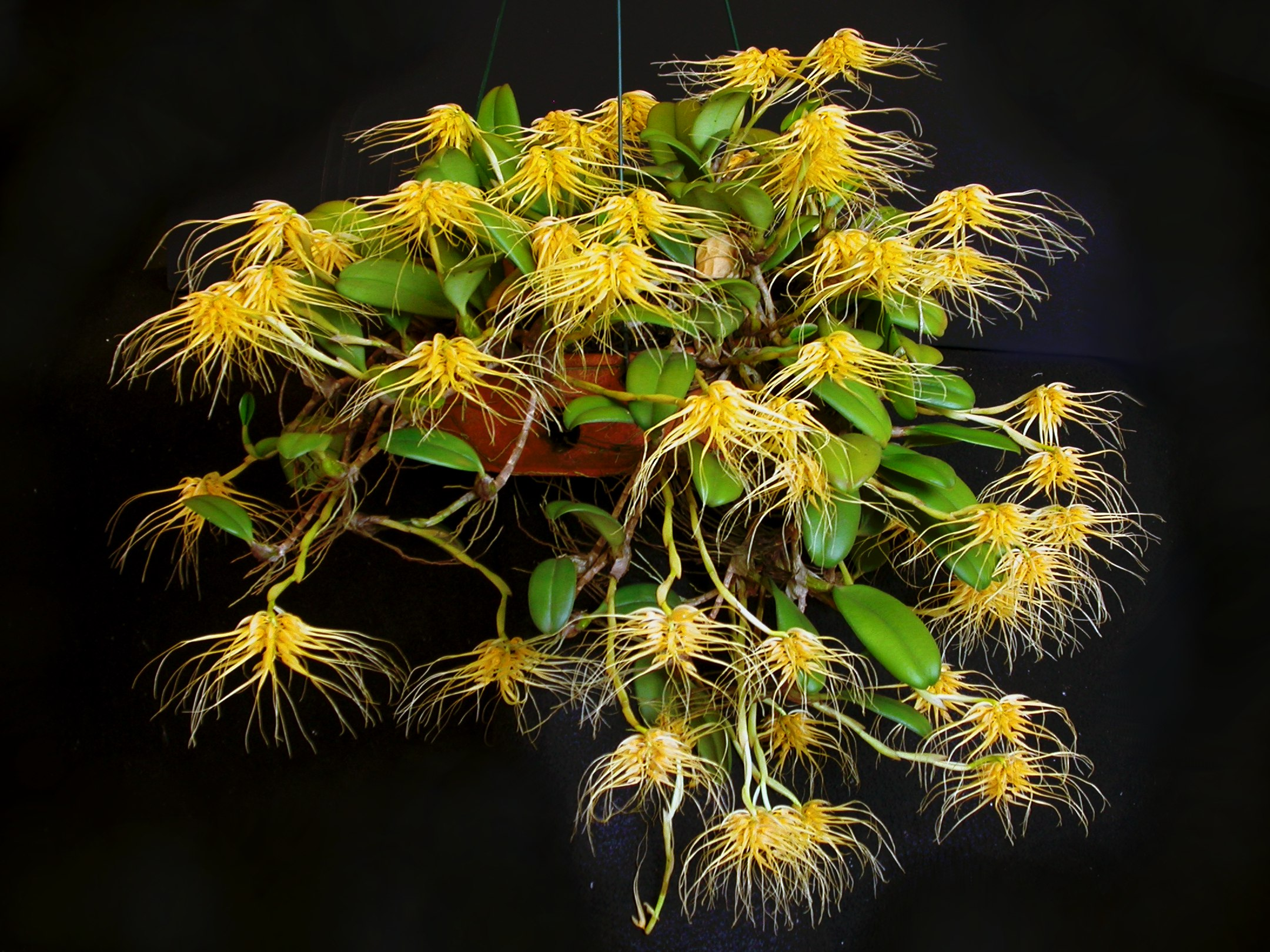 http://upload.wikimedia.org/wikipedia/commons/6/65/Bulbophyllum_vaginatum_1.jpg