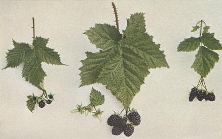Связь между формой и качеством листьев и качеством плодов. По изданию 1914 года