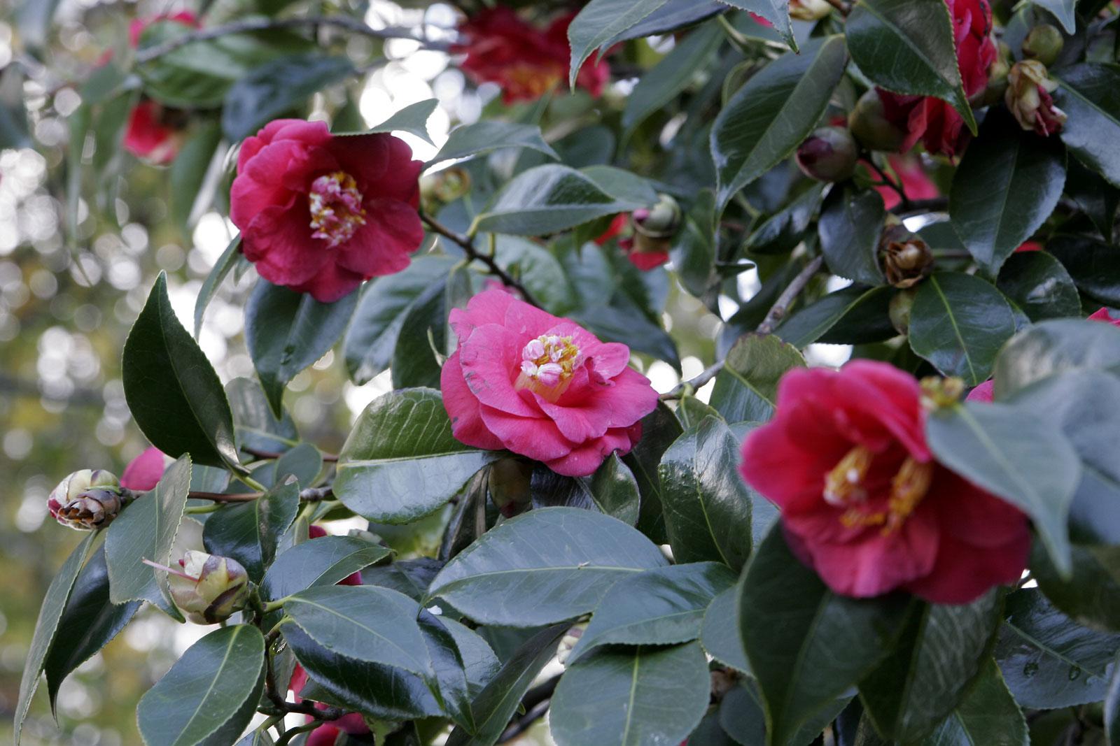 file camellia japonica wikimedia commons. Black Bedroom Furniture Sets. Home Design Ideas