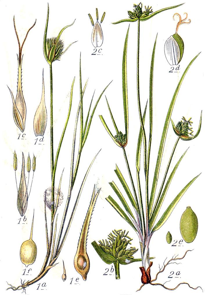 File:Carex spp Sturm25.jpg - Wikimedia Commons