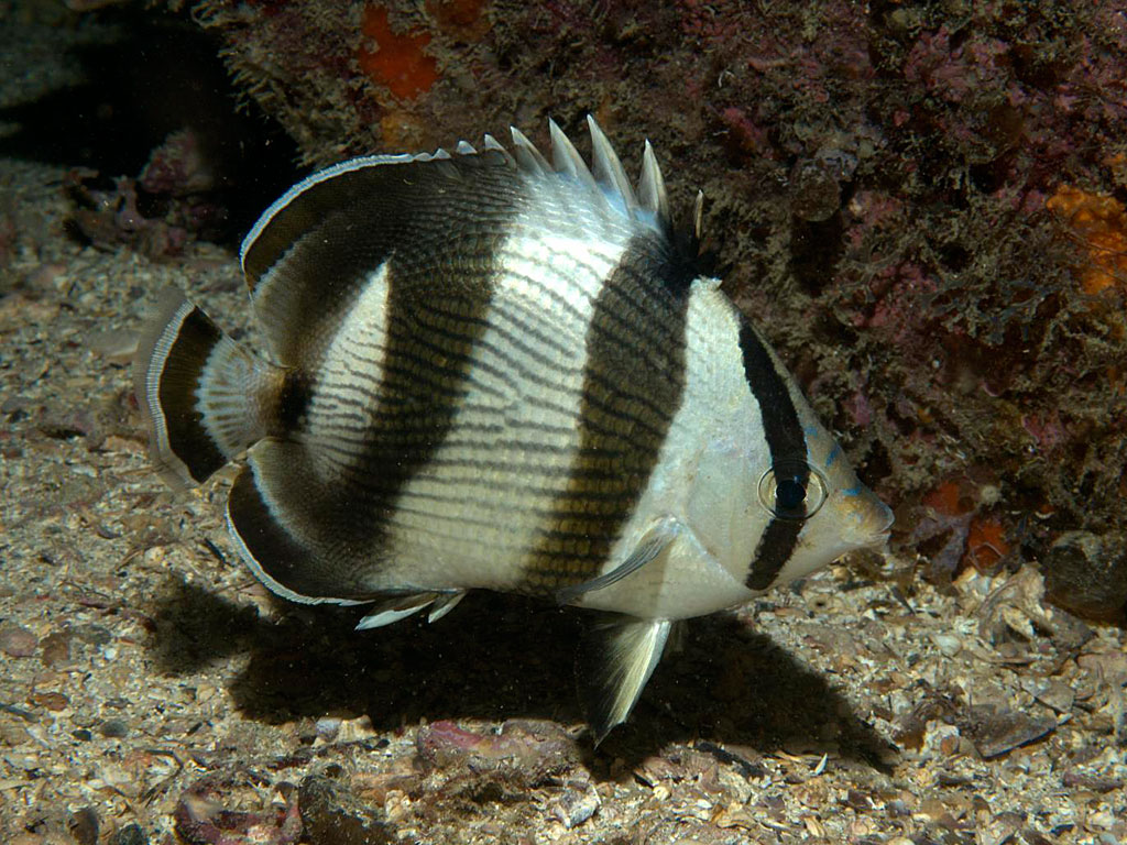 Info on striped butterfly fish
