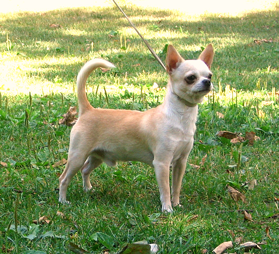 https://upload.wikimedia.org/wikipedia/commons/6/65/Chihuahuasmoothcoat.jpg