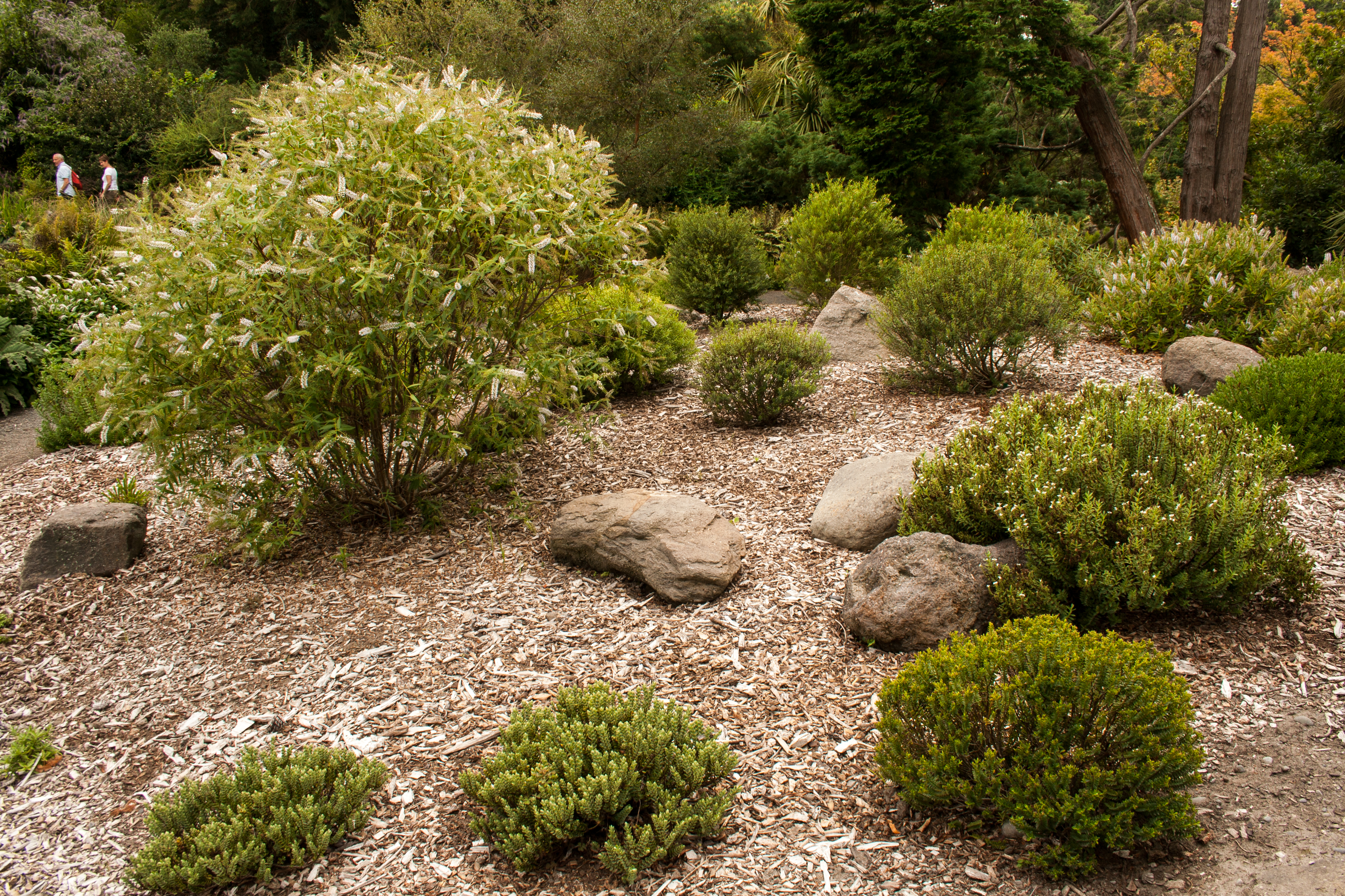 File:Christchurch Botanic Gardens, New Zealand Section, Hebes 2016 02 04