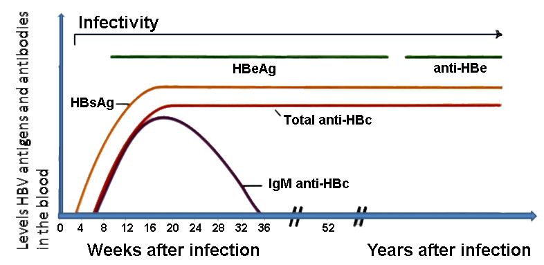 Epatite b - Periodo finestra sifilide ...