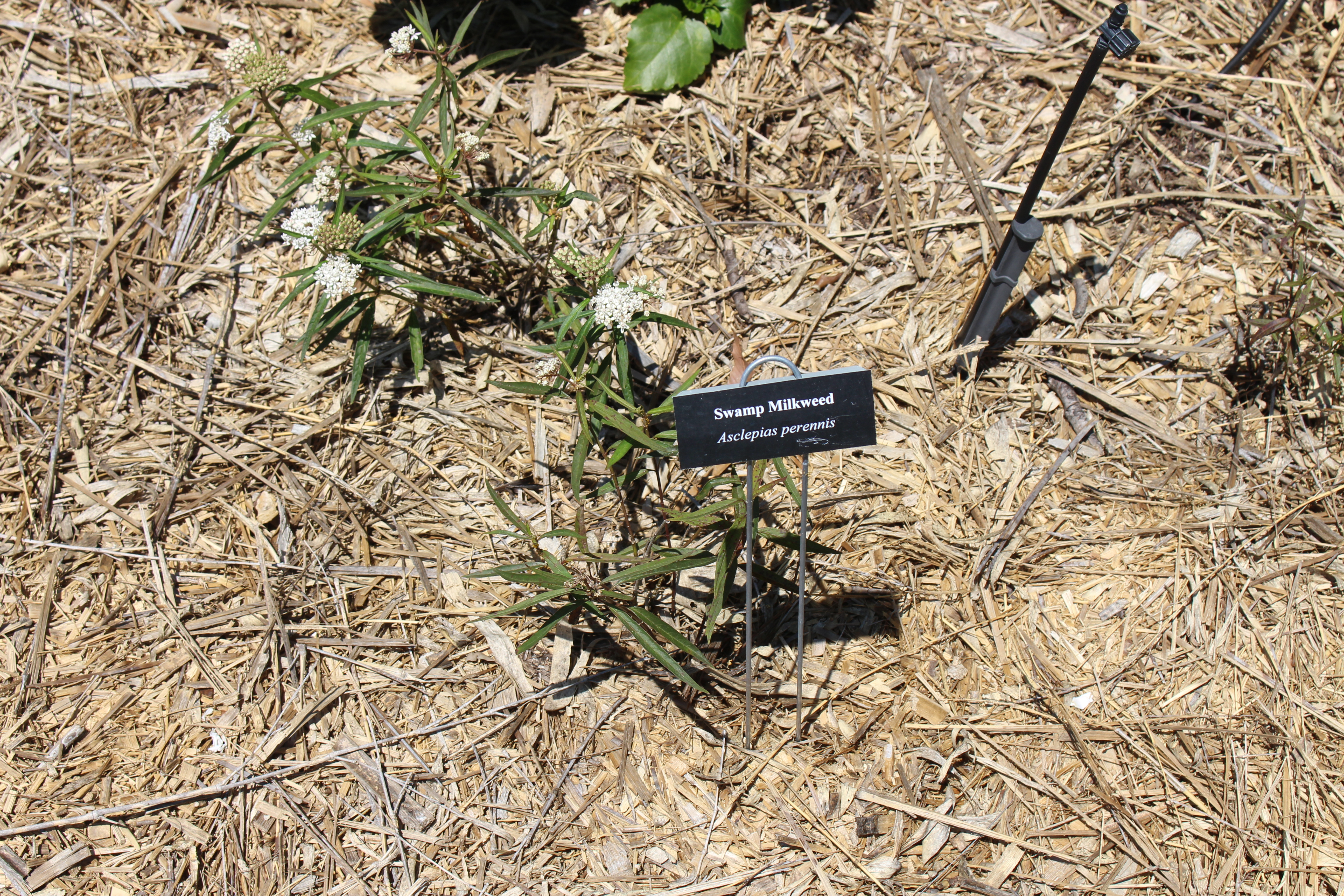 File:Coastal Georgia Botanical Gardens, Swamp Milkweed Asclepias ...