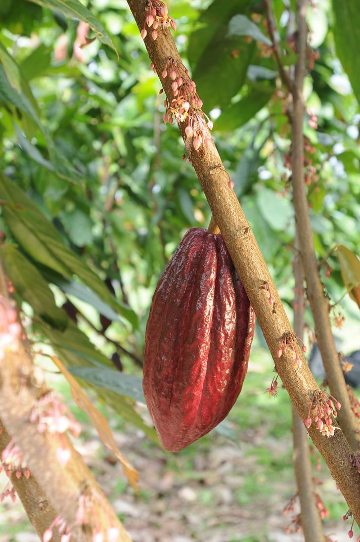 File:Cocoa Plant.JPG - Wikimedia Commons