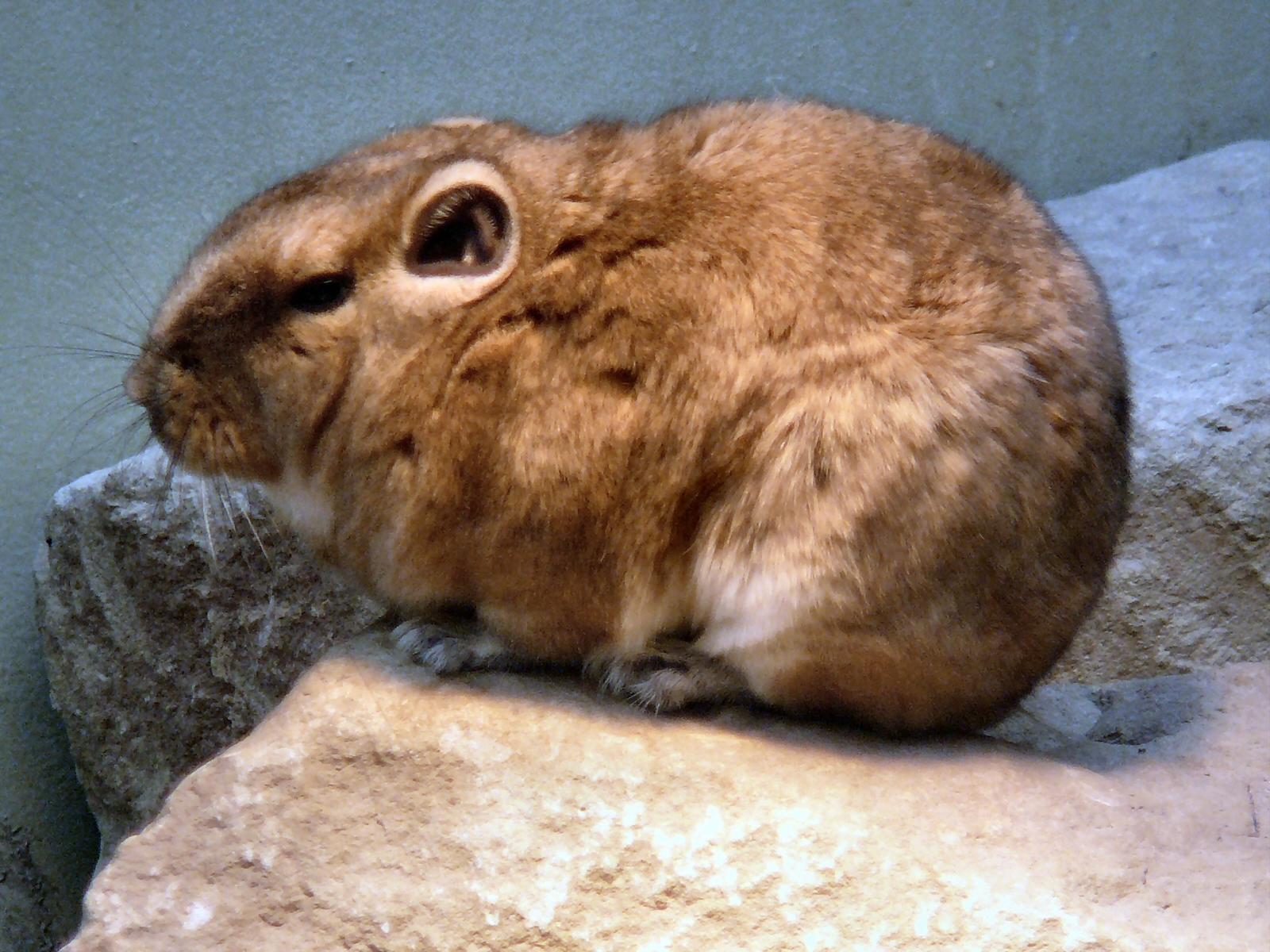 https://upload.wikimedia.org/wikipedia/commons/6/65/Ctenodactylus_gundi-1-WilhelmaZoo-Stuttgart.JPG