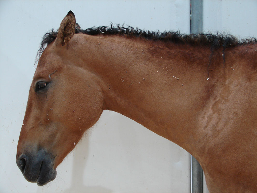 File:Curly-horse.jpg - Wikimedia Commons
