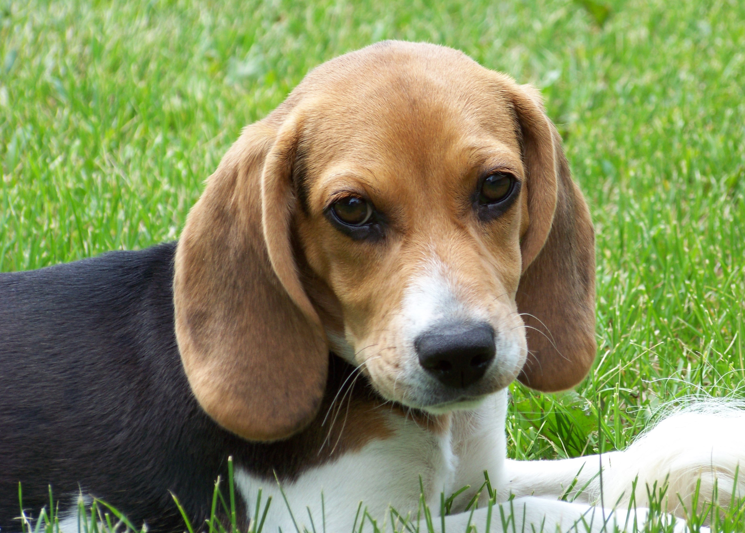 Description Cute beagle puppy lilly.jpg
