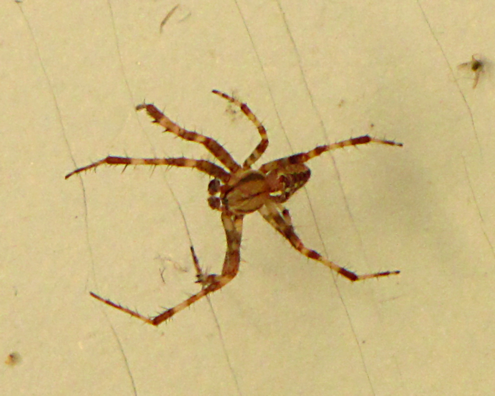 File Diadem Spider Wikimedia Commons