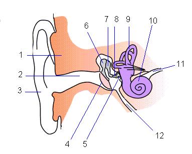 Anatomía del Oído.