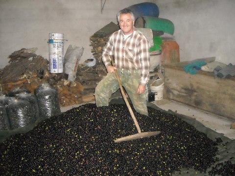 Ficheiro:Ensacar a azeitona, em 2012 (foto Nélio Gaspar).jpg