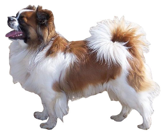Tibetaanse spaniël - Dog Scanner