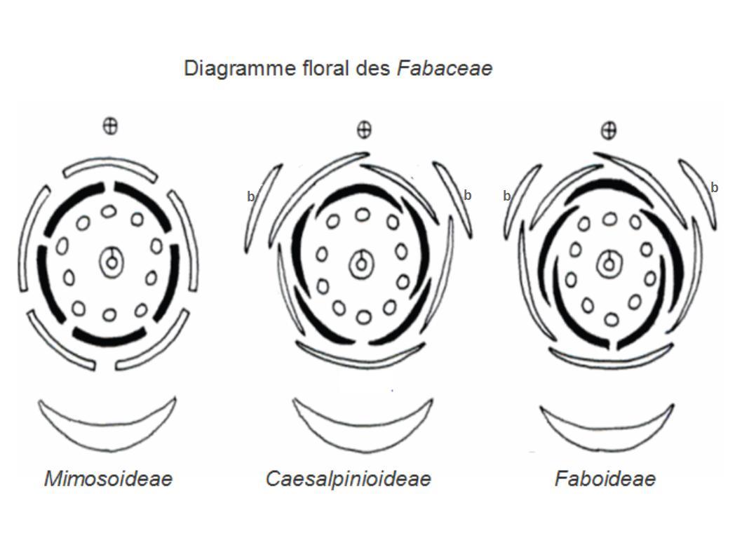 File Fabaceae Floral Diagrams Jpg