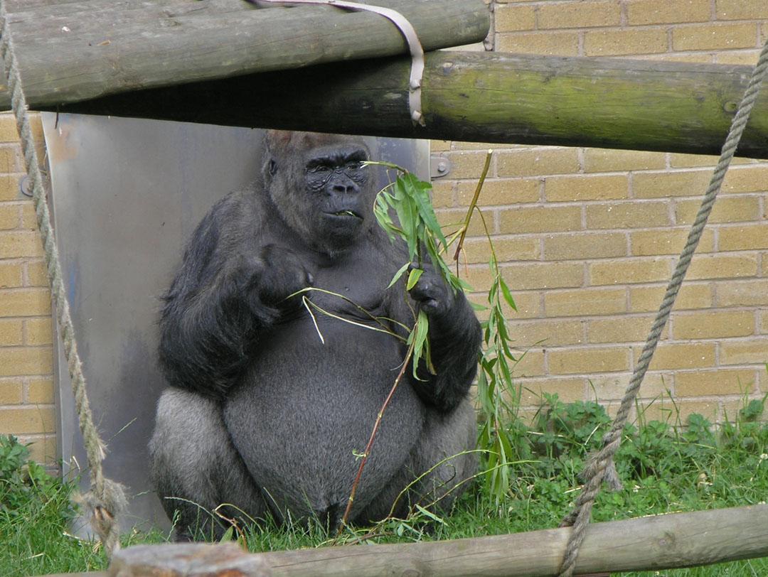wall street, gorilla