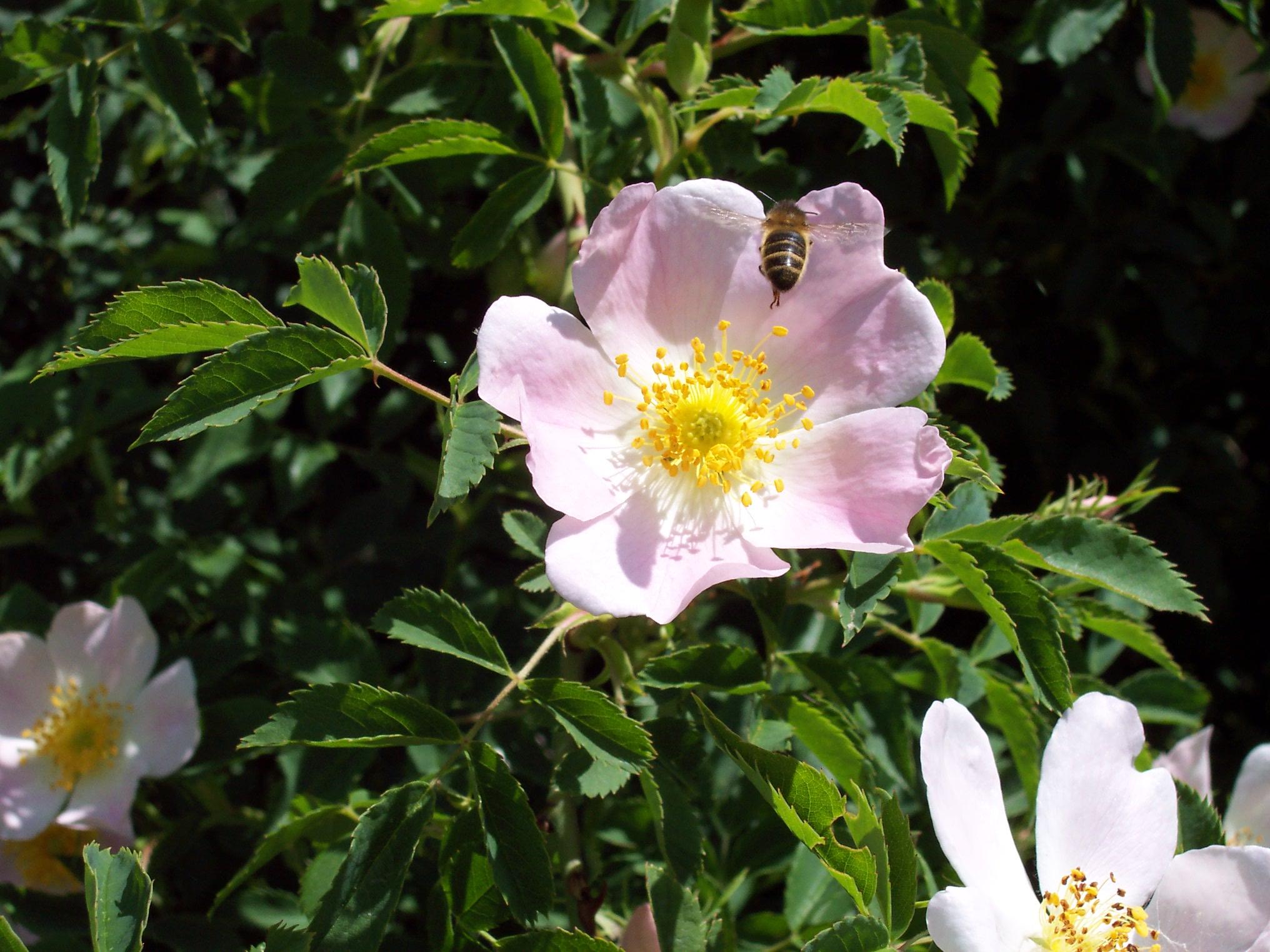 file fleur d 39 glantier rosa canina et abeille en. Black Bedroom Furniture Sets. Home Design Ideas