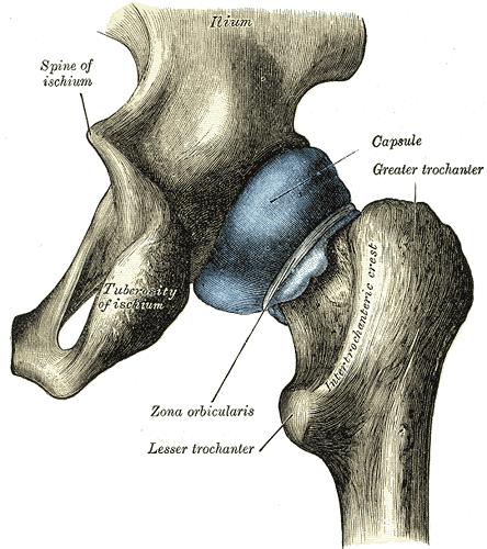 Articulation de la hanche (image de Wikipedia)
