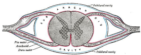 Topographische Anatomie: Nacken und Hinterwand: Wirbelsäule ...