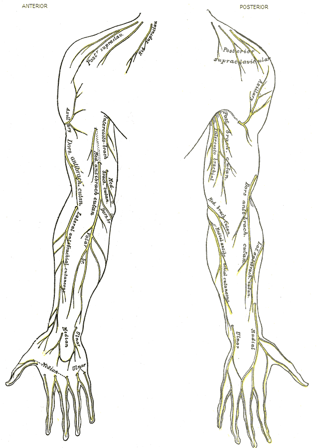 Medial cutaneous nerve of forearm - Wikiwand