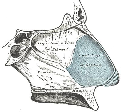 Nasal Septum Wikipedia