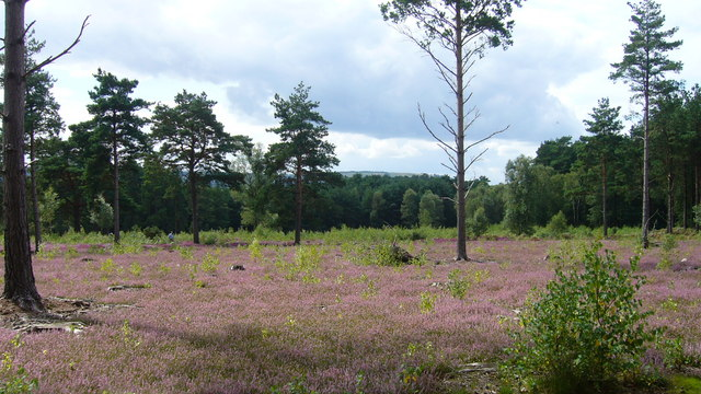 Heather on Stedham Common - geograph.org.uk - 1071974