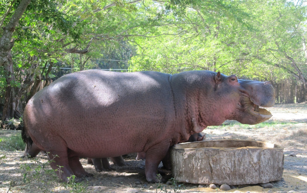 File:Hippo eating.JPG - Wikimedia Commons