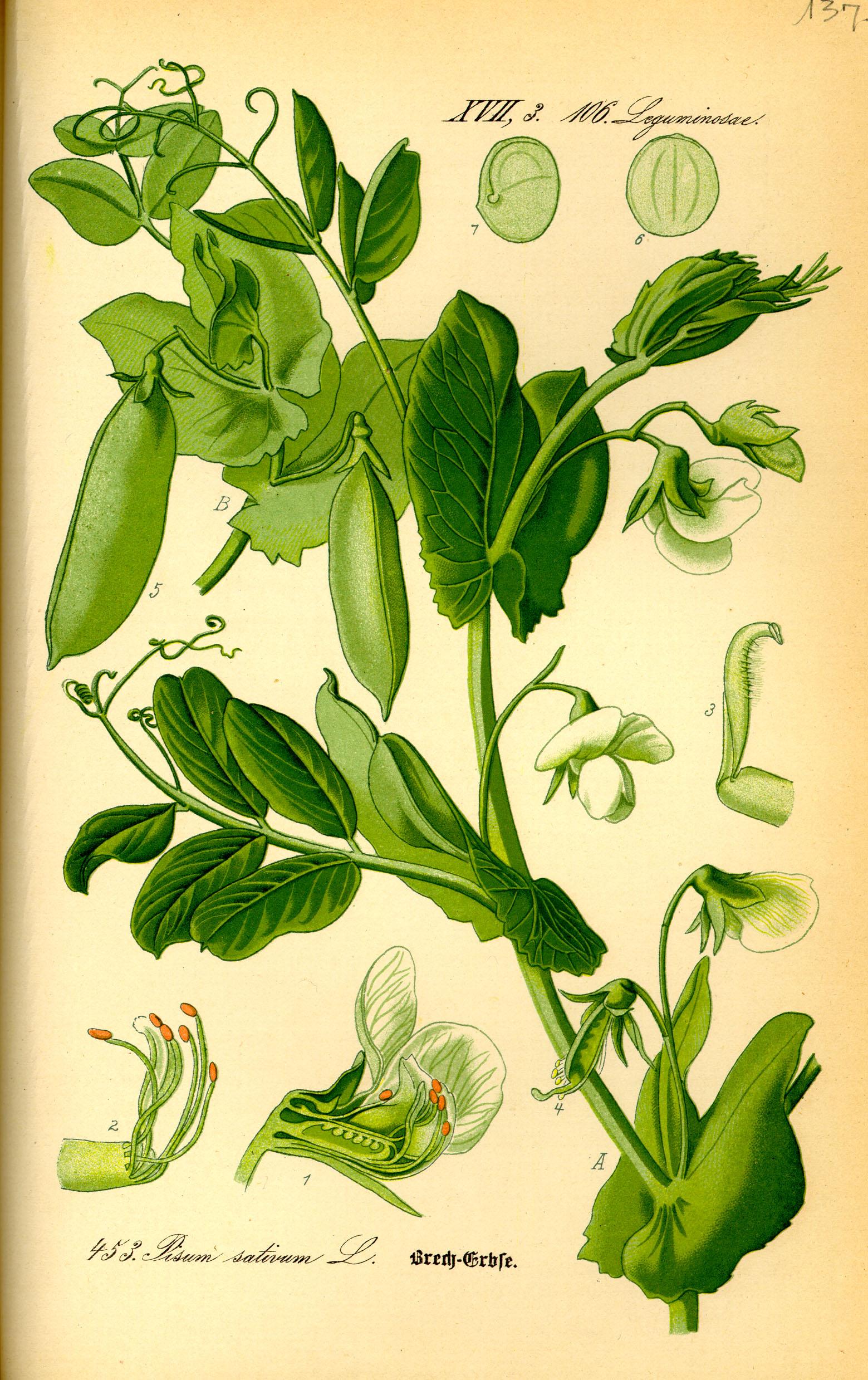Avversità Delle Piante Coltivate pisum sativum - wikipedia
