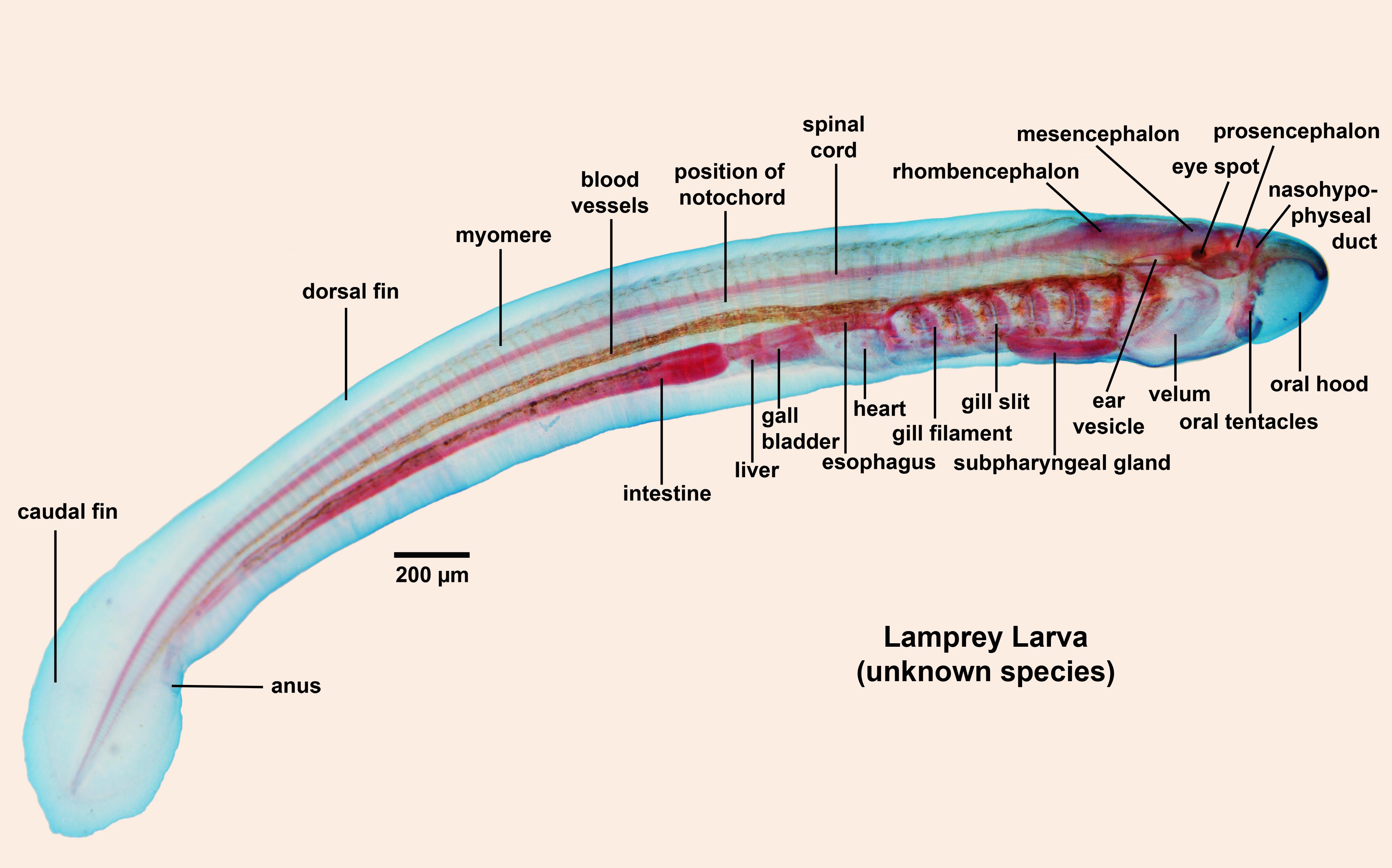 Anatomy of lamprey