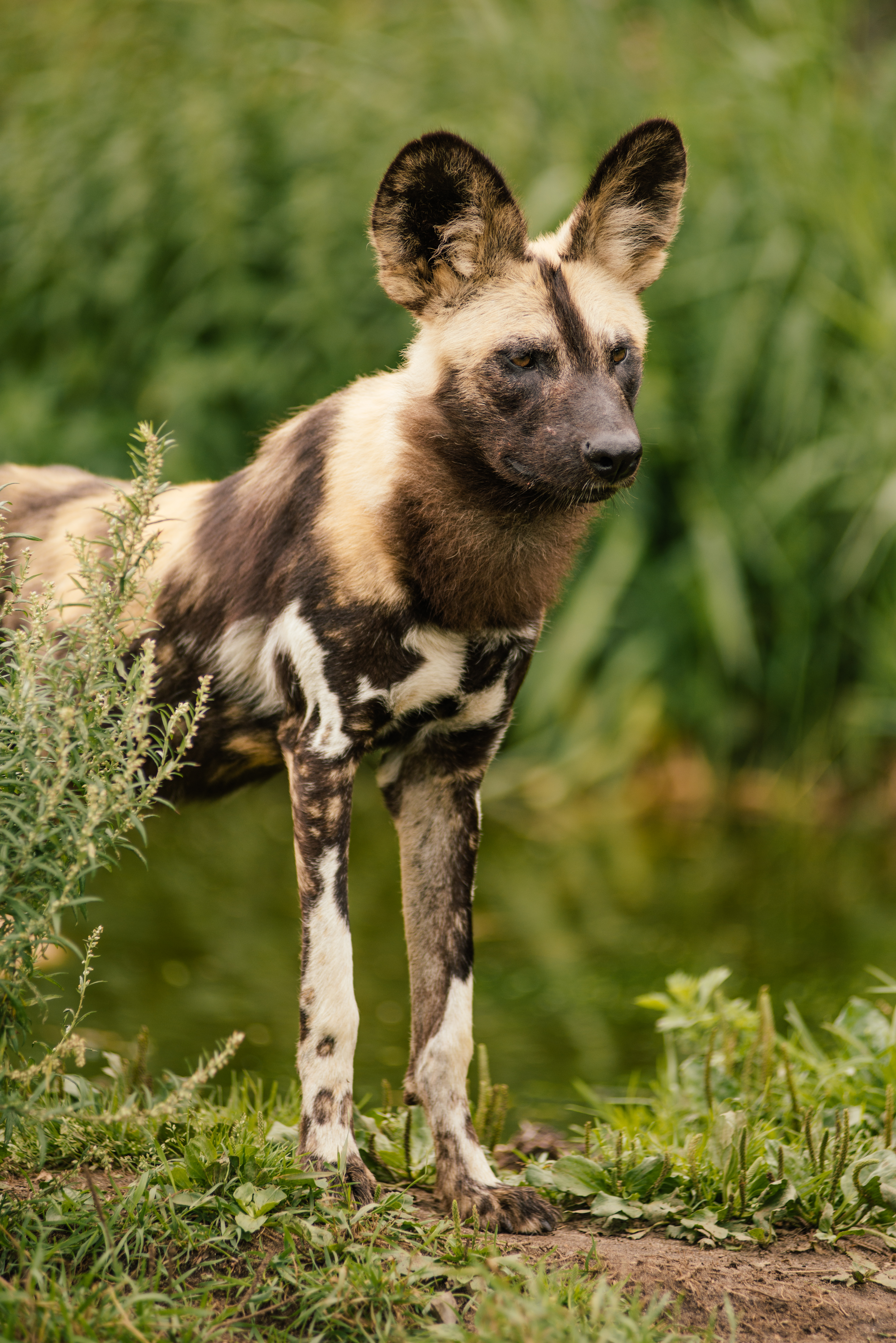african wild dogs Protect endangered species, including the african wild dog, at world wildlife fund learn about the ways wwf works to conserve a future where people live in harmony with nature.