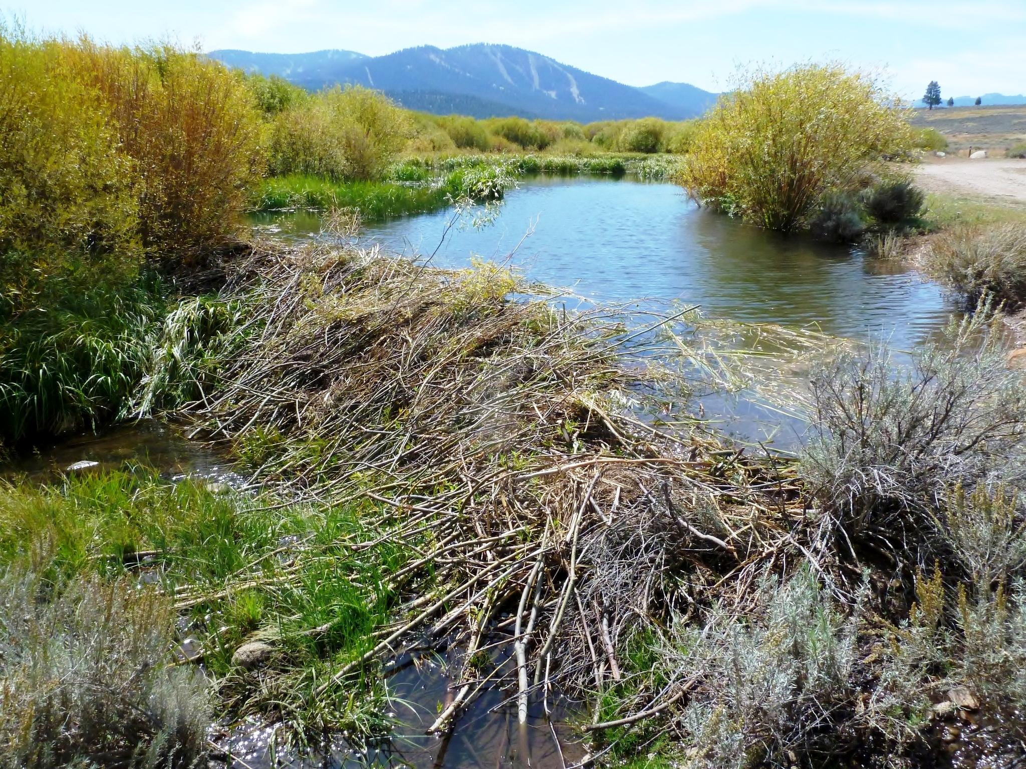 File martis creek beaver dam 2012 wikimedia commons for Castor habitat