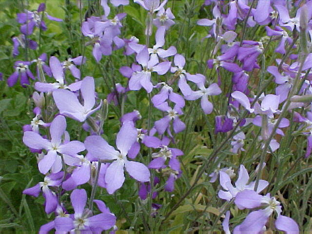 Night Scented Stock Perennial Night-scented Stock Are