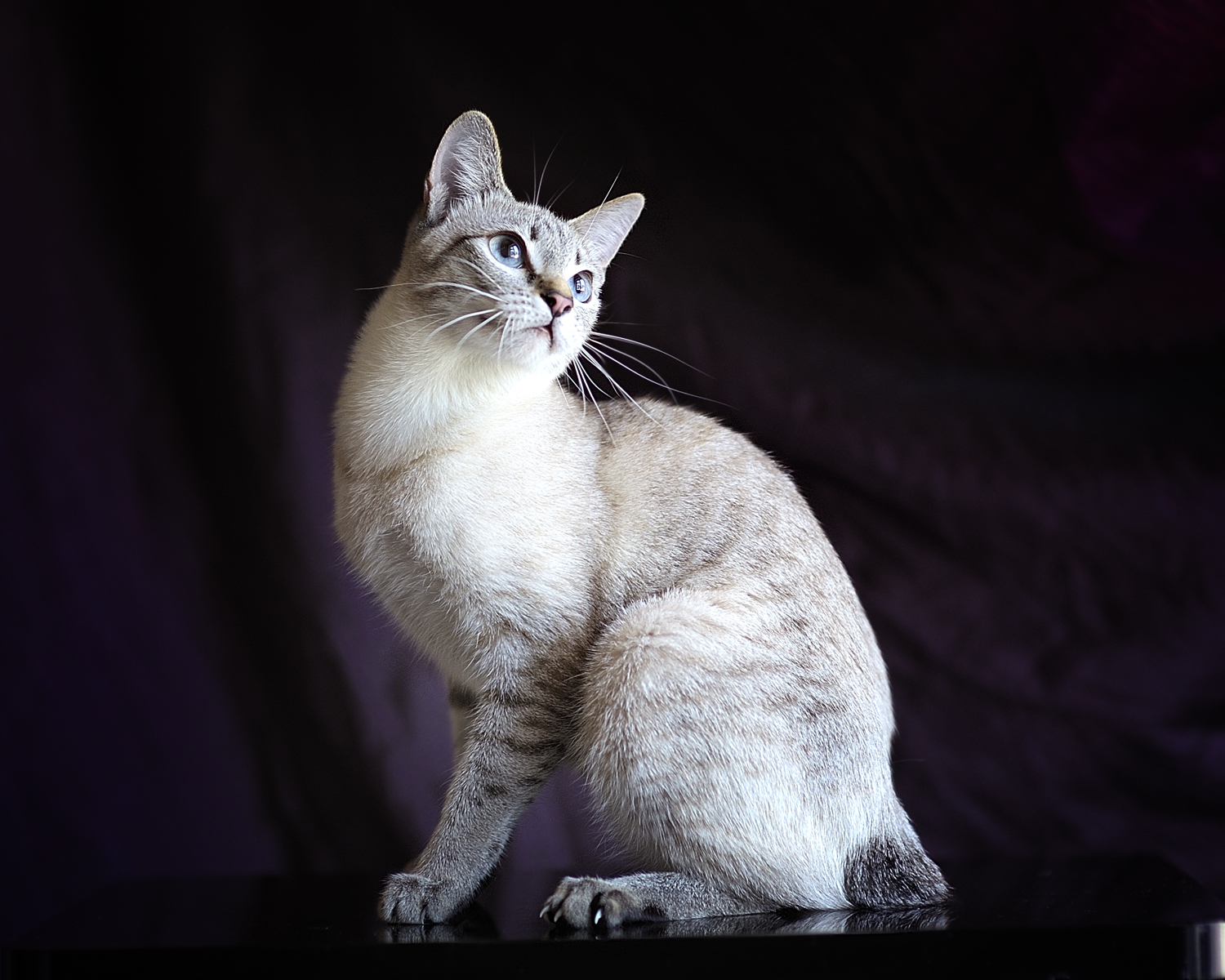 Description Mekong bobtail  Thai bobtail  Tabby pointjpg Q8kESad8