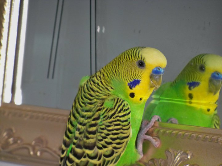 Melopsittacus undulatus -pet near a mirror -male-8a