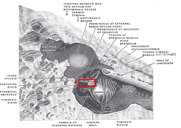 [Image: Musculusstapedius.png]