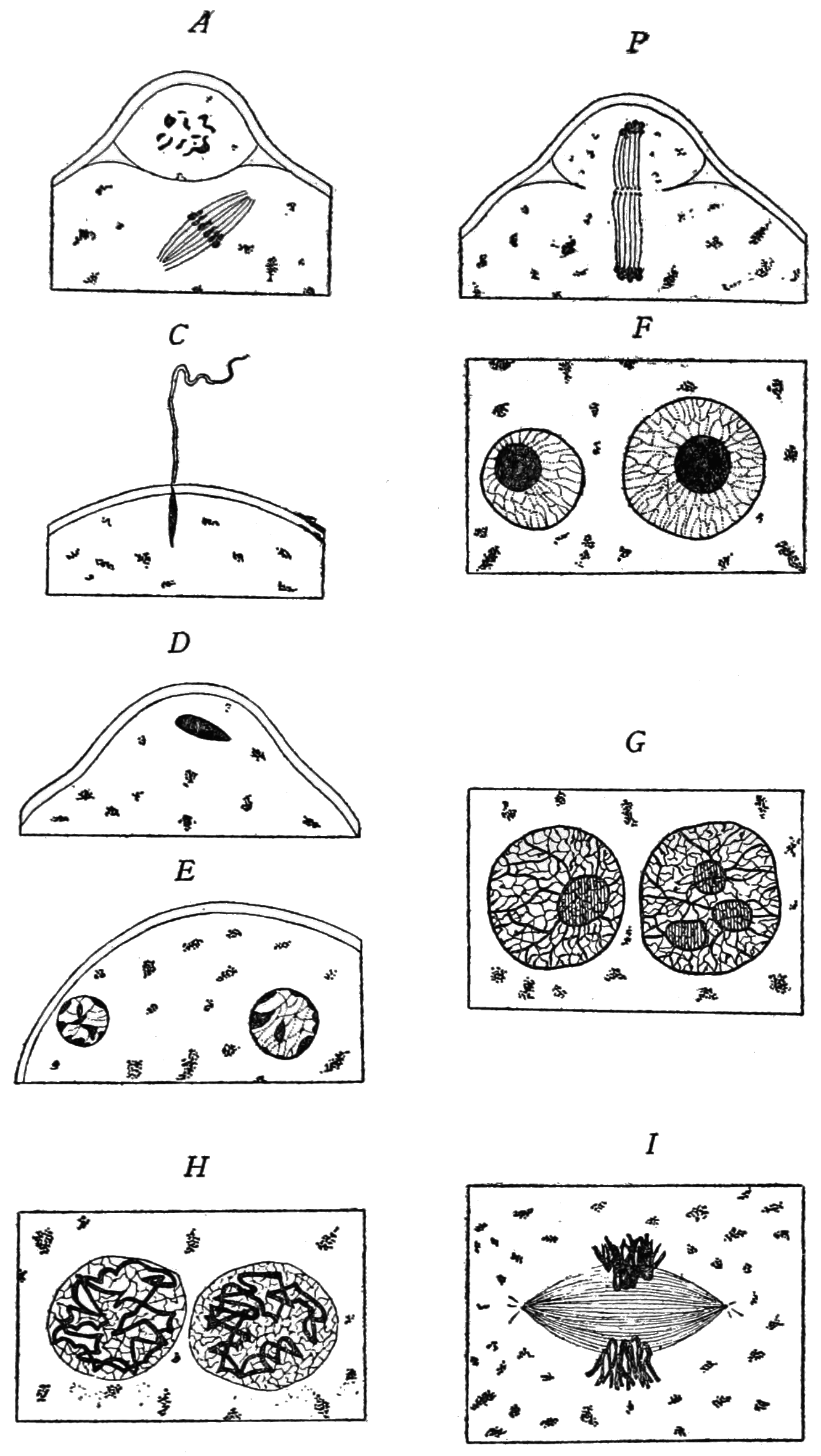 PSM V85 D119 Mouse egg maturation and fertilization diagram.png