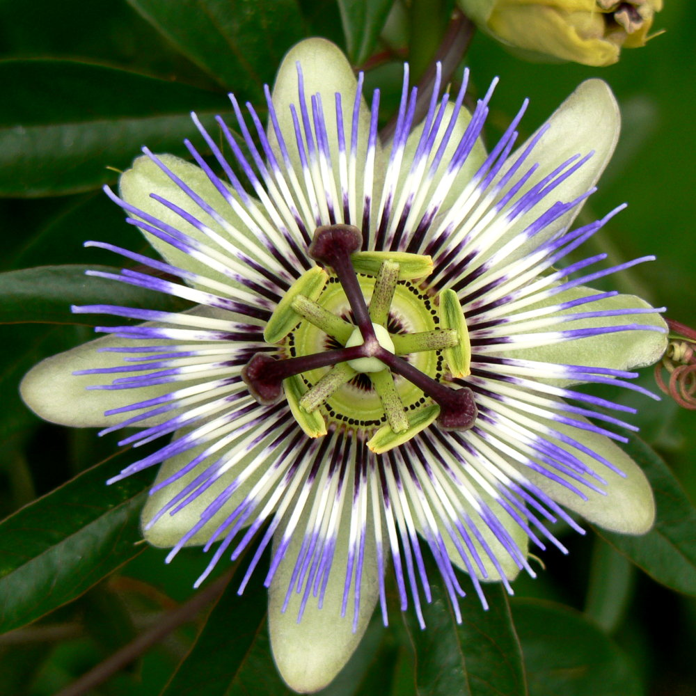 When to take passion flower