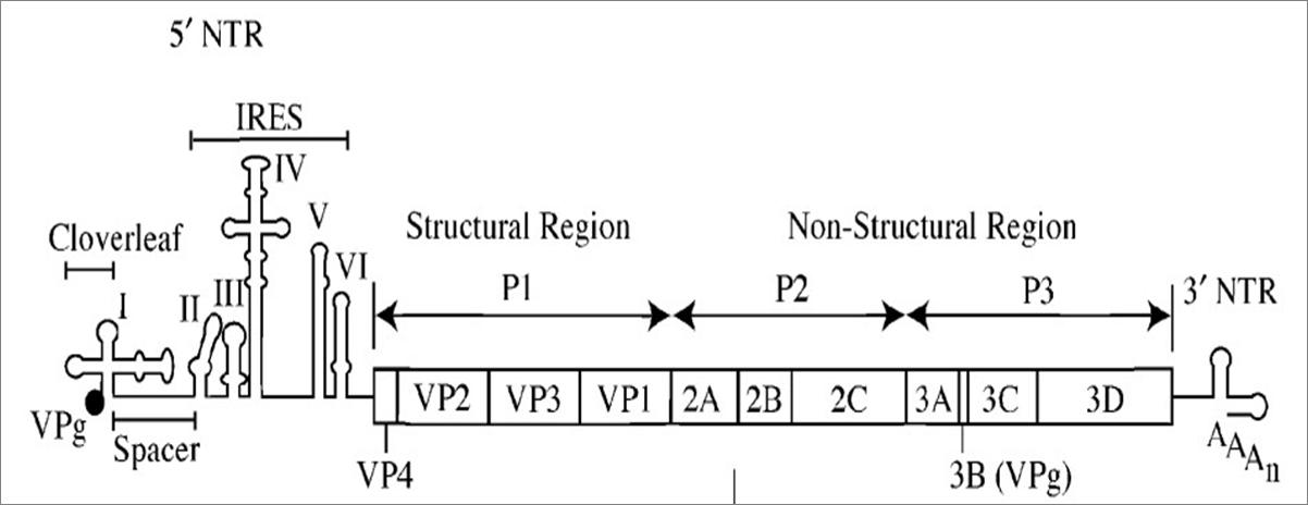 Poliovirus Structure File:poliovirus genome.png