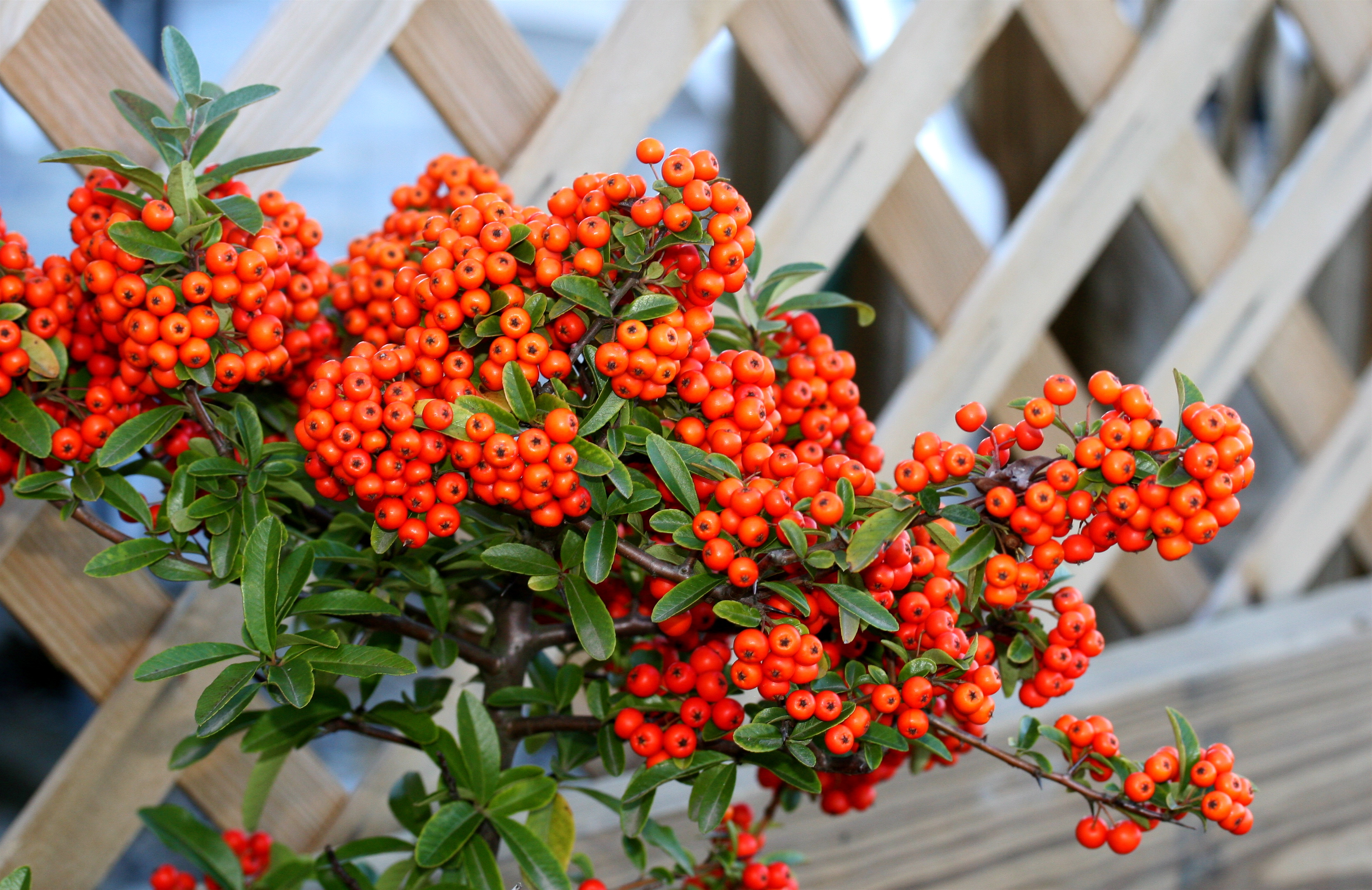 File pyracantha wikimedia commons for Arbustos ornamentales para jardin