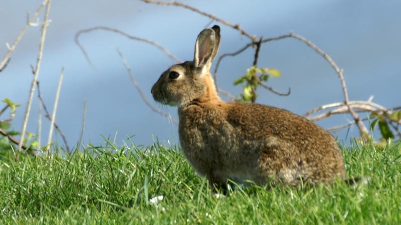 File:Rabbit (Oryctolagus cuniculus) (1).jpg