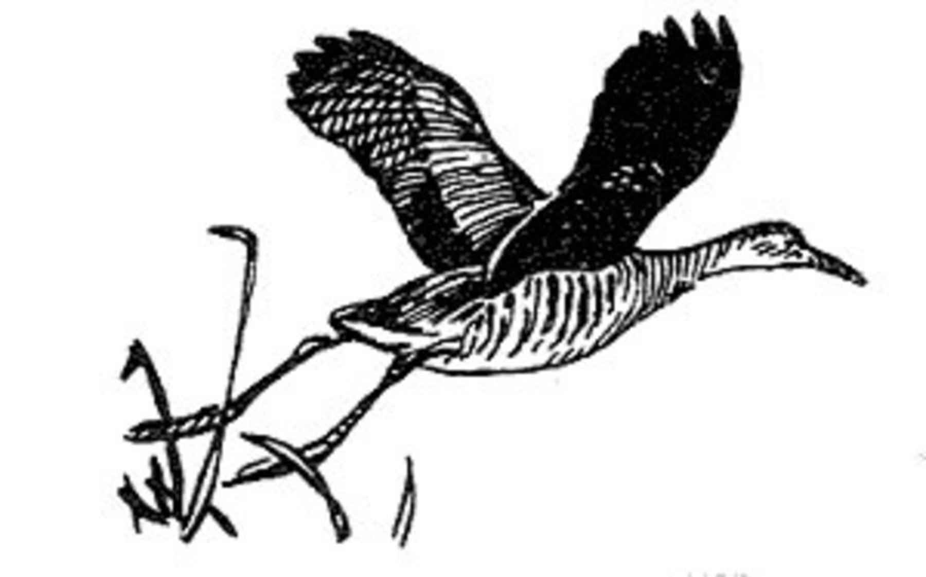 file rallus elegans line drawing artistic photo jpg wikimedia